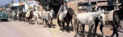Afghan Horses