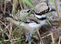 newly hatched killdeer. photo courtesy of birdmandea