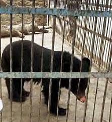Kabul Zoo Bear