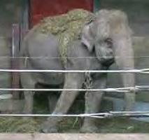 Belfast Zoo Elephant, name unknown
