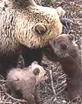 She-bear Berte with two new-born cubs at Vassfaret Park in 2000. PHOTO: JOHN MYHRE