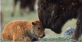 Bison Picture Courtesy of H.S.U.S.