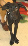 B.J. Great Dane Pup