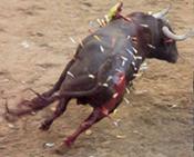 Bull of Darts Torture
