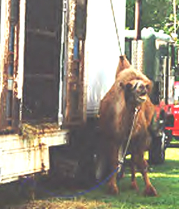 Camel chained to truck