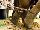 Elephants are always chained in place