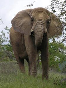African Elephant #71