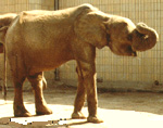 Forest elephant in Frankfurt Zoological Gardens ..1976