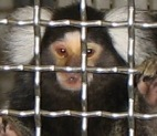 This marmoset is one of many primates in labs awaiting funding for a sanctuary home