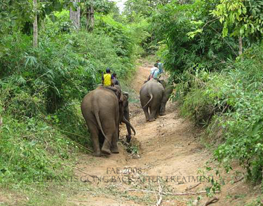 Elephants going back after treatment
