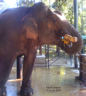Plai Kammee enjoying bananas