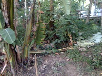 Mosha's Banana Tree
