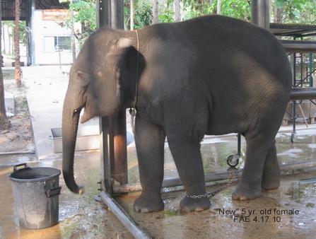 Elephant named New