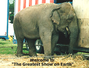 circus elephant, between shows