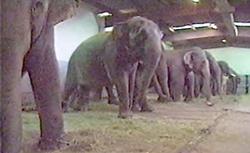 Chained Hawthorn Elephants