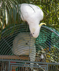 A Tale of two Cockatoos