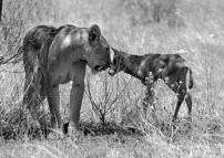 Kamunyak and Oryx calf, nose to nose.
