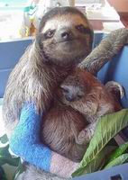 rescued mama sloth with broken arm holding her infant