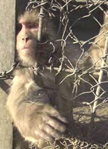 Kabul Monkey