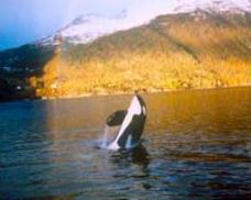 Keiko in Taknes Bay, Norway. Photo credit: www.keiko.com