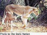 Kamuniak and Easter, the third oryx