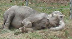 Lota was finally able to lay down for the first time in decades at The Elephant Sanctuary