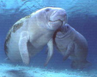 Manatee Mom and Calf