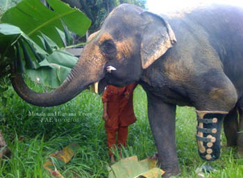 Motala and the banana trees