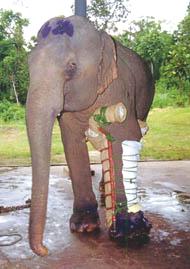 Motala's crutch