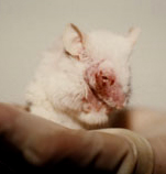 mouse used for testing, how sad