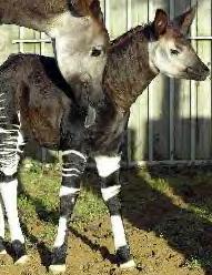 Okapi calf and mom and London Zoo March 2002
