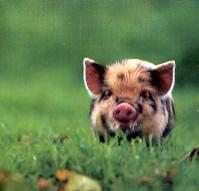 Piglet, Free