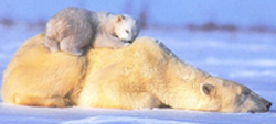 mama and baby polar bears