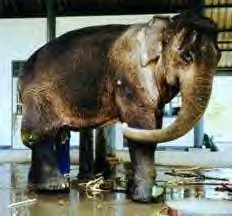Pung Ekhe, elephant with broken leg