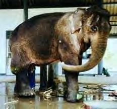 Pung Ekhe, elephant with broken leg