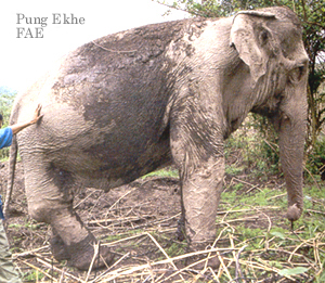 Photo of Pung Ekhe from the book Elephant Hospital by Kathy Darling Photographs by Tara Darling Millbrook Press 2002