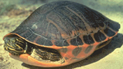 red bellied turtle close up courtesy savetheredbelly.org