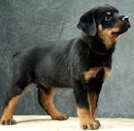 Rottweiler pup