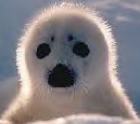 white coat seal pup