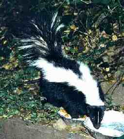 skunk with front feet in food dish, drinking water from second dish