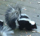 little round skunk