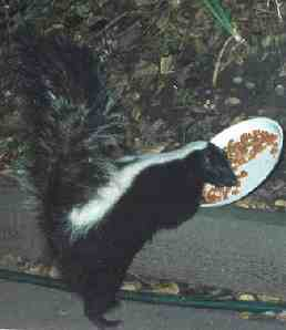 standing skunk eating