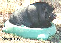 Swampy the Pot Bellied Pig