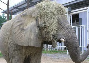 Tange's New Hay Wig