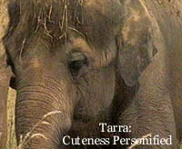 Tarra, original founding resident of the Elephant Sanctuary, resident artist, chow hound, cutie, Valentine's Day baby