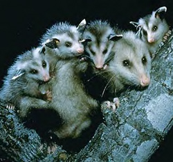 Virginia Opossum Family