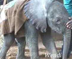 Wendi, Asian elephant orphan